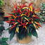 200Pcs-Pepper-Capsicum-Vegetable-Seeds-Rare-Colorful-Hot-Chili-Bonsai-For-Garden thumbnail 2