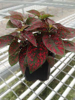 Hypoestes Seeds  (Splash Select Red) 50 Seeds,Great Indoor or outdoor !