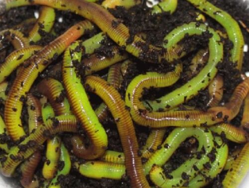 LEGEND LAB   WORM GLO TURNS LIVE WORMS CHARTREUSE   FISHING 1 oz Bulk Saver