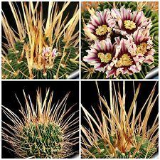 10 semi di Echinofossulocactus crispatus ,piante grasse,seeds cactus