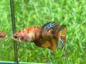Live Betta Fish - Female - Fancy Nemo Betta HMPK , Age 4 month From Thailand