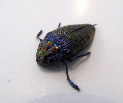 BLUE -GREEN !!WOW! Polybothris sumptuosa gema PURPLE Taxidermy REAL Insect