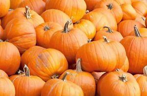 Pumpkin-Spookie-Non-GMO-Heirloom-Garden-Vegetable-Seeds-Sow-No-GMO-USA