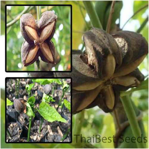 Plukenetia Volubilis 50 Seeds Sacha Inchi Sacha Peanut Mountain Peanut From Tha