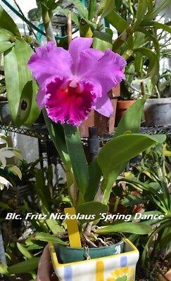 Fritz Nickolaus /'Spring Dance/' Blc