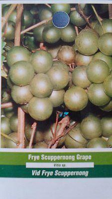 Plants Plant Grapes Vineyards Home Light Scuppernong Muscadine Grape Vine 3Gal
