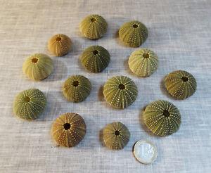 Tests-d-039-oursins-verts-Psammechinus-miliaris-Cabinet-de-curiosites-Sea-Urchin