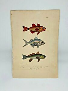 Fish-Plate-90-Lacepede-1832-Hand-Colored-Natural-History