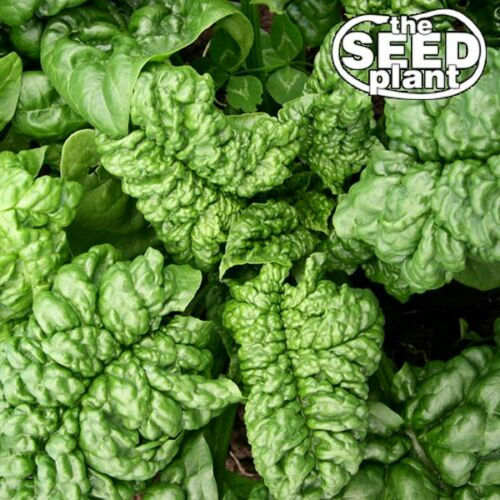 spinach plant  seed