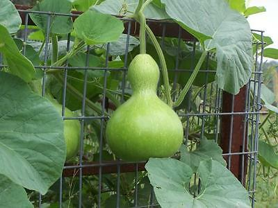 FLOWER GOURD BIRDHOUSE 12 SEEDS  UNUSUAL