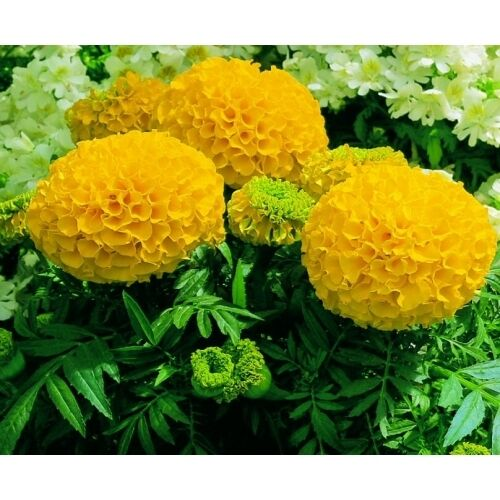 """African Marigold Seeds- ANTIGUA YELLOW - Great Border Flower 3"""" Blooms- 25 Seeds"""