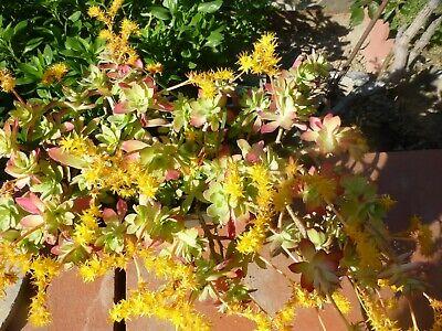Grand Lot Lot=plantes Vivaces Reprenant Facilement +feuilles De Laurier Makkelijk Te Gebruiken