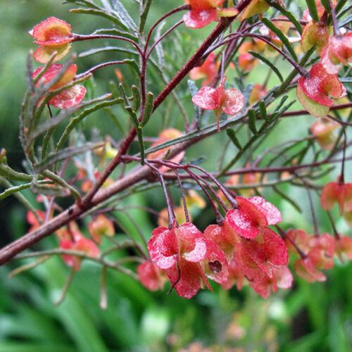 DODONAEA boroniifolia Hairy Hop Bush Seeds N 25