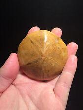 Superbe Oursin fossile poli de Madagascar de 160 millions d'années/Fossil Urchin