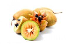fresh 5 seeds sapodilla manilkara zapota chico sapote nispero m358