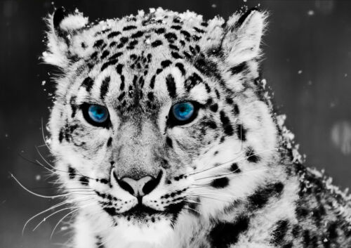 STICKERS AUTOCOLLANT TRANSP POSTER A4 ANIMAL SAUVAGE LYNX EYES BLUE/& NEIGE SNOW