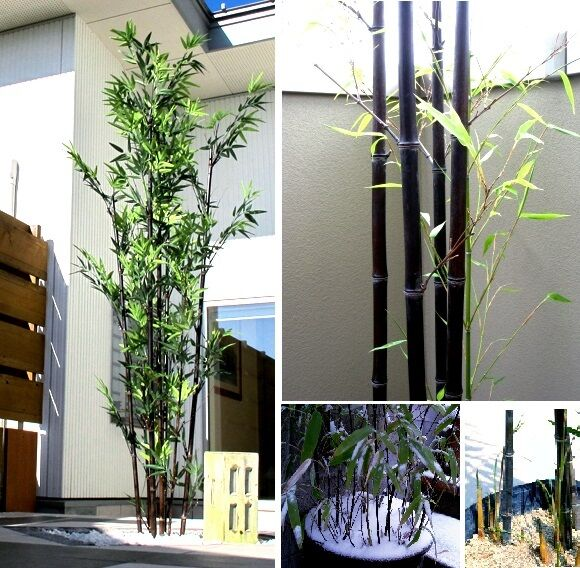 Sukkulente Zierpflanze : Winterharter Schwarzer Riesenbambus I frisches Saatgut