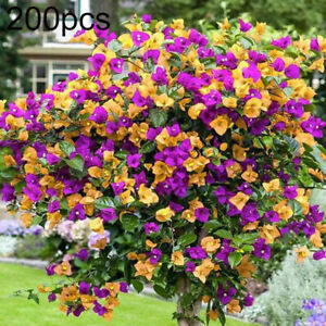 Am-HB-200Pcs-Mixed-Bougainvillea-Speetabilis-Flower-Perennial-Plant-Seed-Potte