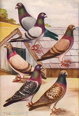 English Carriers Pigeon Glossy Textured Print Whittman