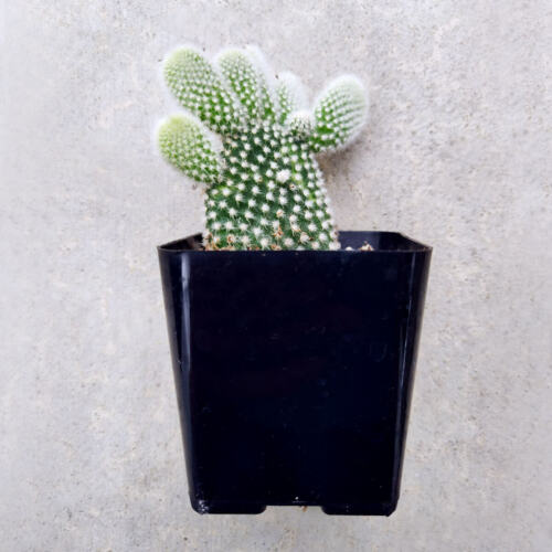 2/'/' or 4/'/' or 6/'/' Angel Wing Cactus Plant Opuntia