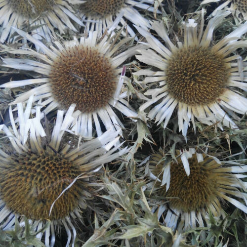 5  x Getrocknete Blüten 6-8cm Echt Silberdistel Eberwurz Distel Trockenblumen