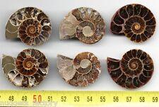 lot de 3 Ammonites de Madagascar sciées et polies ( 036 )