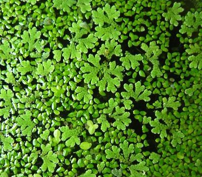 Duckweed + Azolla Fern MIX / Starter Pack / $8 for 1 15 x10cm Snap Seal Bag