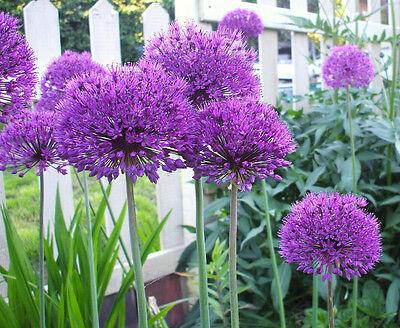 25 ALLIUM PURPLE SENSATION SEEDS, HARDY PERENNIAL PLANT SEEDS