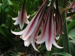 African Queen NEW large blooming-size bulb Crinum Lily