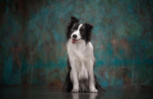 Cute Border Collie Dog Print Black Ballpoint Pen Farmer Pet Animal Gift #8617