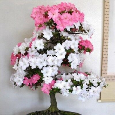 Bonsai Japanese Sakura Bonsai Flower Cherry Blossoms Cherry Tree