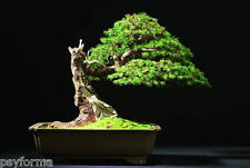 25 graines - seeds / Épicéa commun (Picea abies) / Sapin de noel - semis bonsai