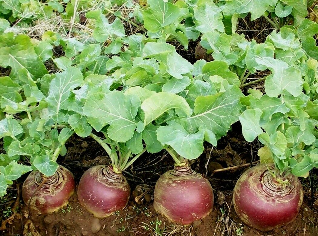 Swede Gowrie Min 500 seeds Disease resistant - Vegetables/Fruits