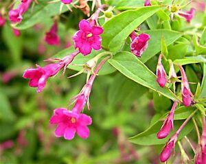 Jasmine beesianum climbing plant deep pink scented summer flowers image is loading jasmine beesianum climbing plant deep pink scented summer mightylinksfo