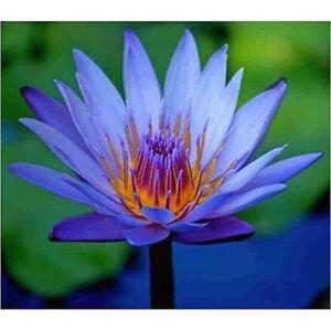 10 Nymphaea Caerulea Seeds (Sacred Egyptian Lily) Blue Lotus