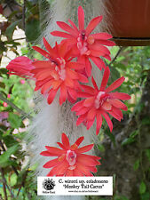 Monkey Tail Cactus - Cleistocactus winteri ssp. colademono WK950