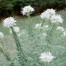 Cleome (Cleome Hassleriana) - White Queen  -50 Seeds
