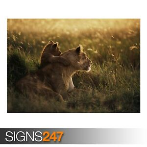 AFRICAN-LION-3413-Animal-Poster-Picture-Poster-Print-Art-A0-A1-A2-A3-A4