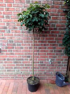 Kugelahorn-170-180-cm-inklusive-Duenger-Acer-Globosum-Ahorn-Kugelbaum