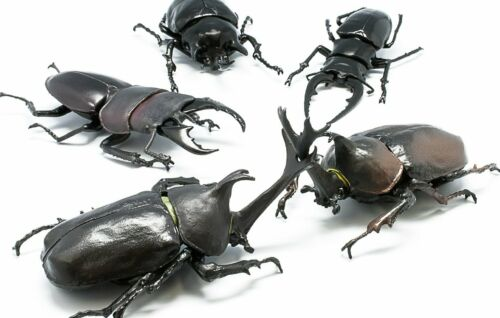 F-Toys Beetles Dynastidae Allomyrina dichotomus Set x5 Model