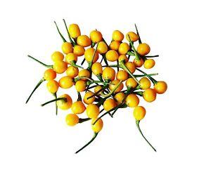 GESCHENK beste Qualität Aji Charapita 20 SAMEN seeds teuerste Chili der Welt