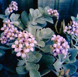 KALANCHOE-PUMILA-034-Flour-Dust-Plant-034-Garden-Plant-Succulent