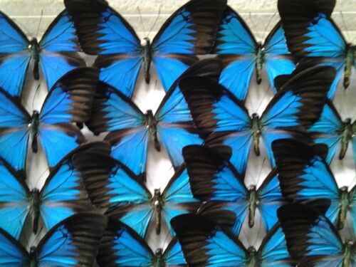 Unmounted Swallowtails AMBON ISL. Papilio ulysses A Lot of 5 A1 EXTRA LARGE