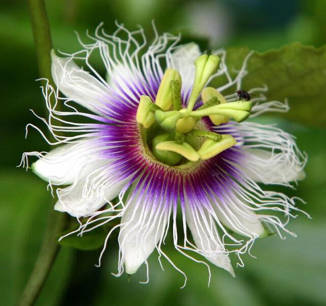 Passiflora Edulis Frederick 10 Seeds Tropical Exotic Vine Passion