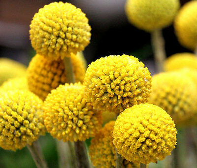 50 seeds BOGO 50/% off SALE Craspedia Globosa Billy Buttons-
