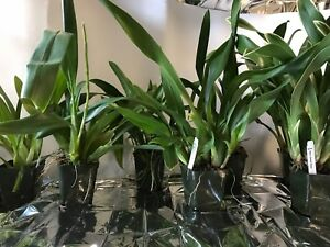 SALE Orchids Oncidiums  3 Large Live Orchids Plants  FREE SHIPPING - Virginia Beach, Virginia, United States - SALE Orchids Oncidiums  3 Large Live Orchids Plants  FREE SHIPPING - Virginia Beach, Virginia, United States