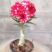 "Adenium Obesum Desert Rose Impala Lily, ""Chailis"" Red White Flower Plants Fresh"