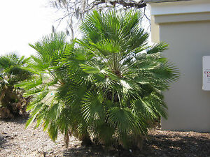 chamaerops humilis european fan palm fresh seeds ebay. Black Bedroom Furniture Sets. Home Design Ideas