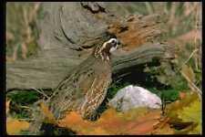 352032 Bobwhite Quail cock Stands Alertly A4 Photo Print