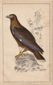 NEW-ZEALAND-CARACARA-Hand-Coloured-ANTIQUE-BIRD-PRINT-Natural-History-1850